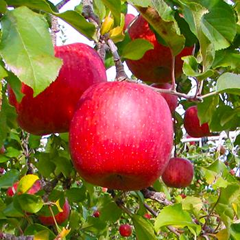樹上のリンゴ