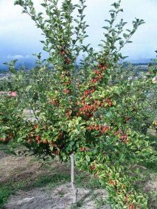 姫リンゴの樹